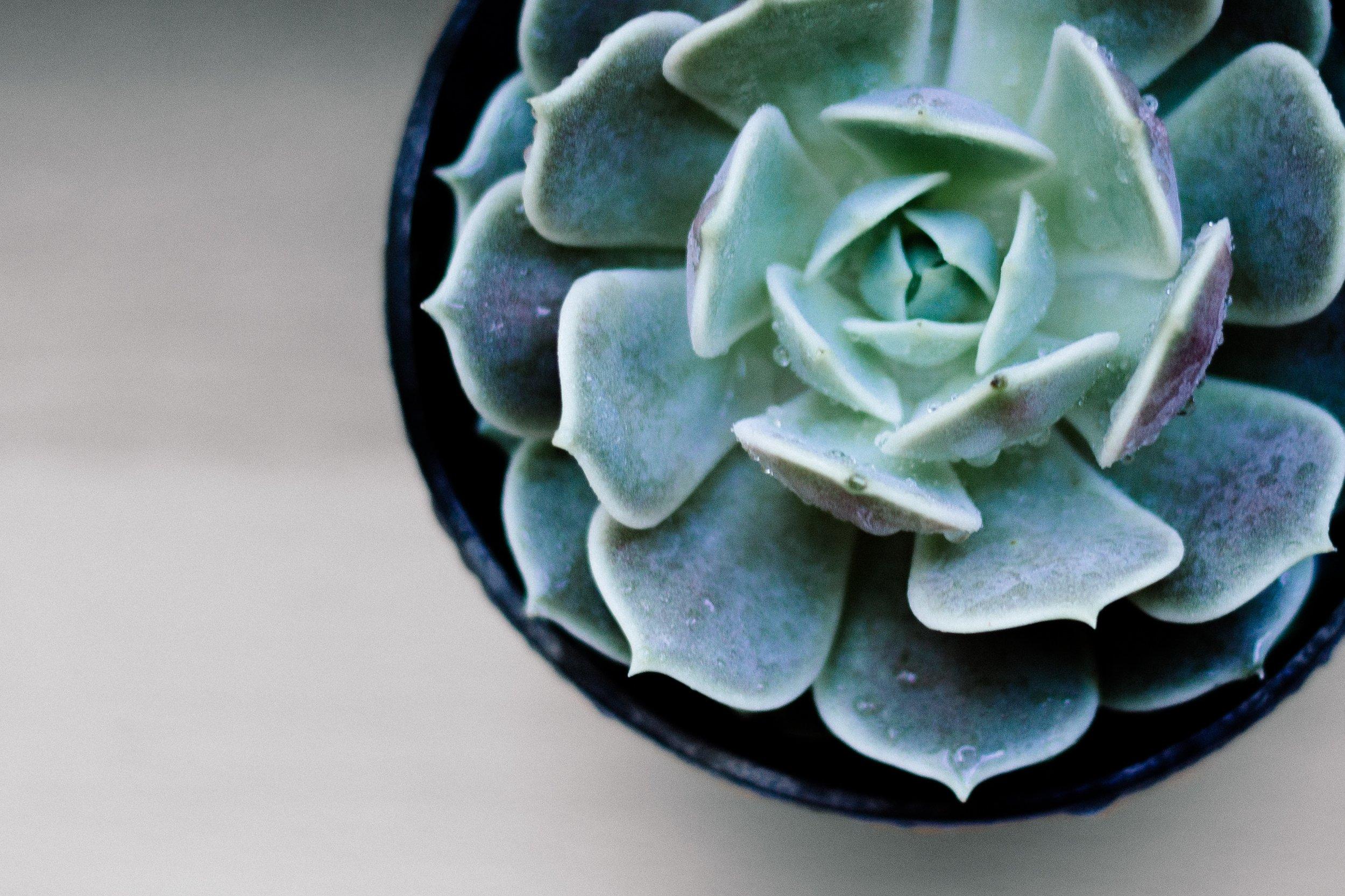 succulent_close_up