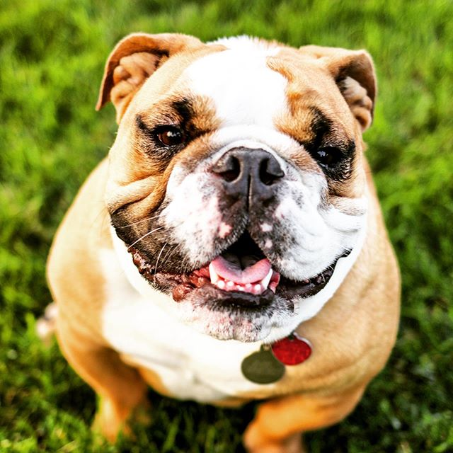 Happy Birthday to my most favorite couch companion, Chubbs Peterson. You have given us 4 years of naps, farts, and joy.  #ttc #ttccommunity #fertilityjourney #infertilityawareness #surrogacyjourney #surrogacyrocks #bulldoglove #bulldogsofinstagram #chicagoblogger #westloopisthebestloop 📷: @56photoco @samm.shh