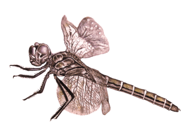Dragonfly Red.png