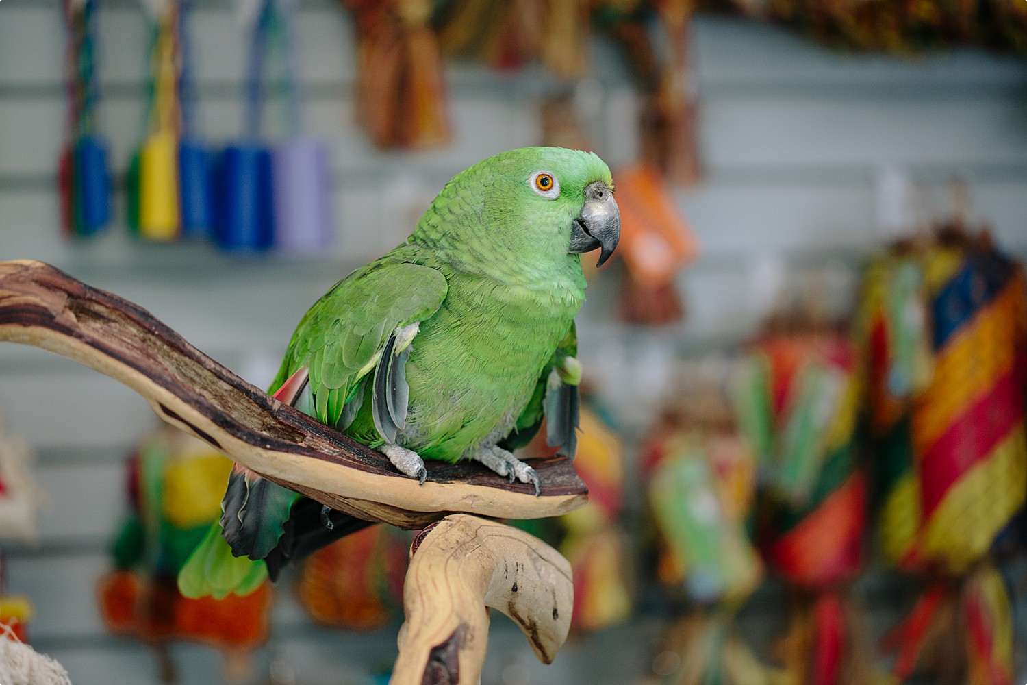 Toby - Yellow Naped Amazon Parrot