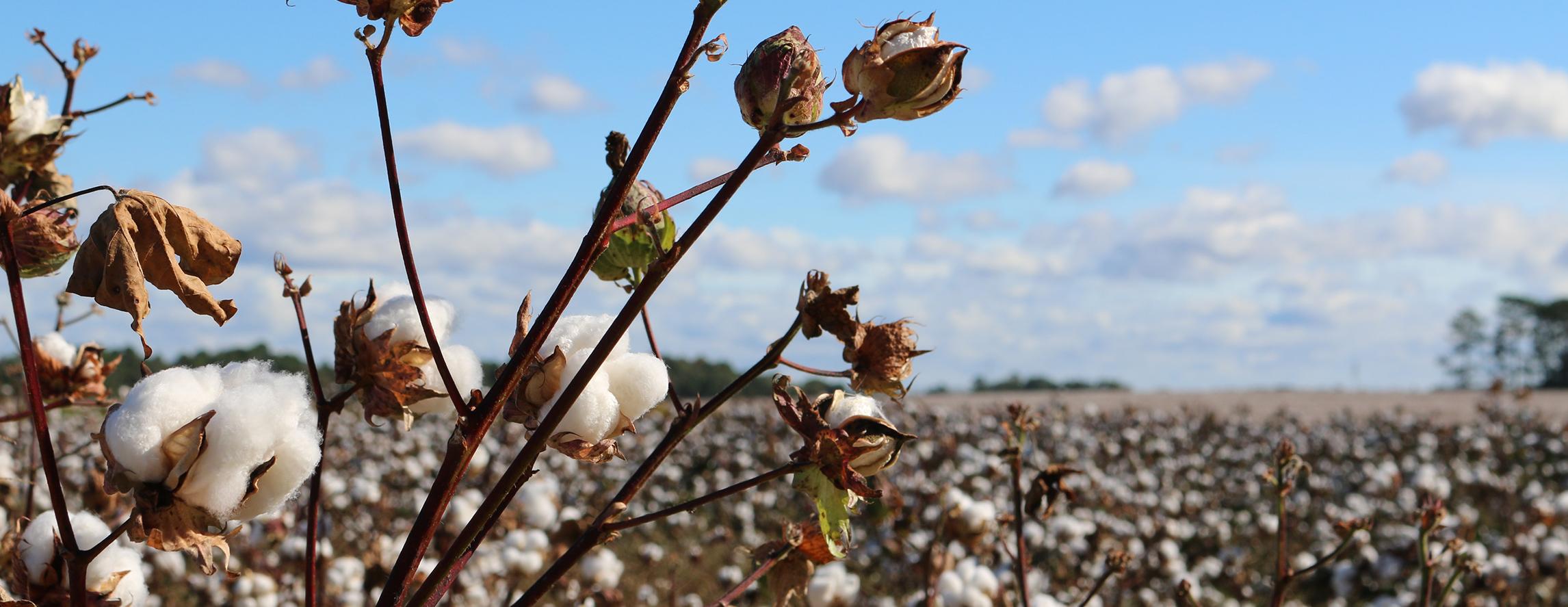 CottonBanner.jpg