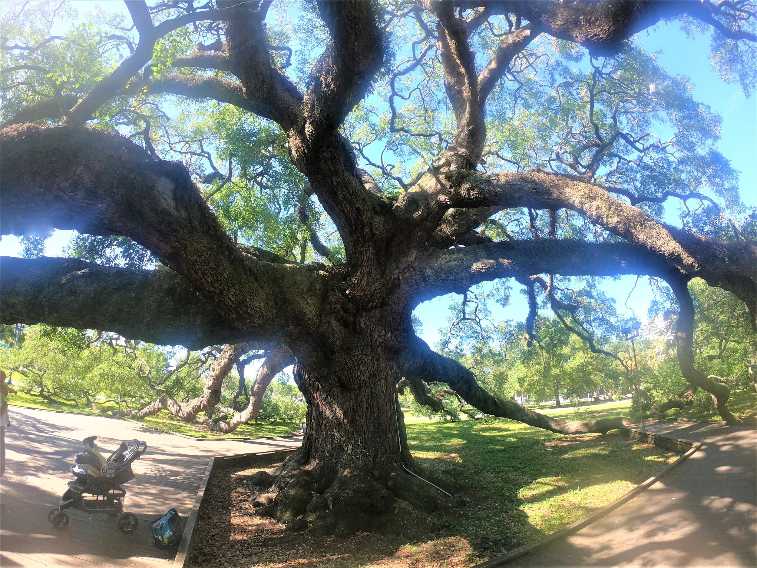 Treaty Oak in Jacksonville, Florida