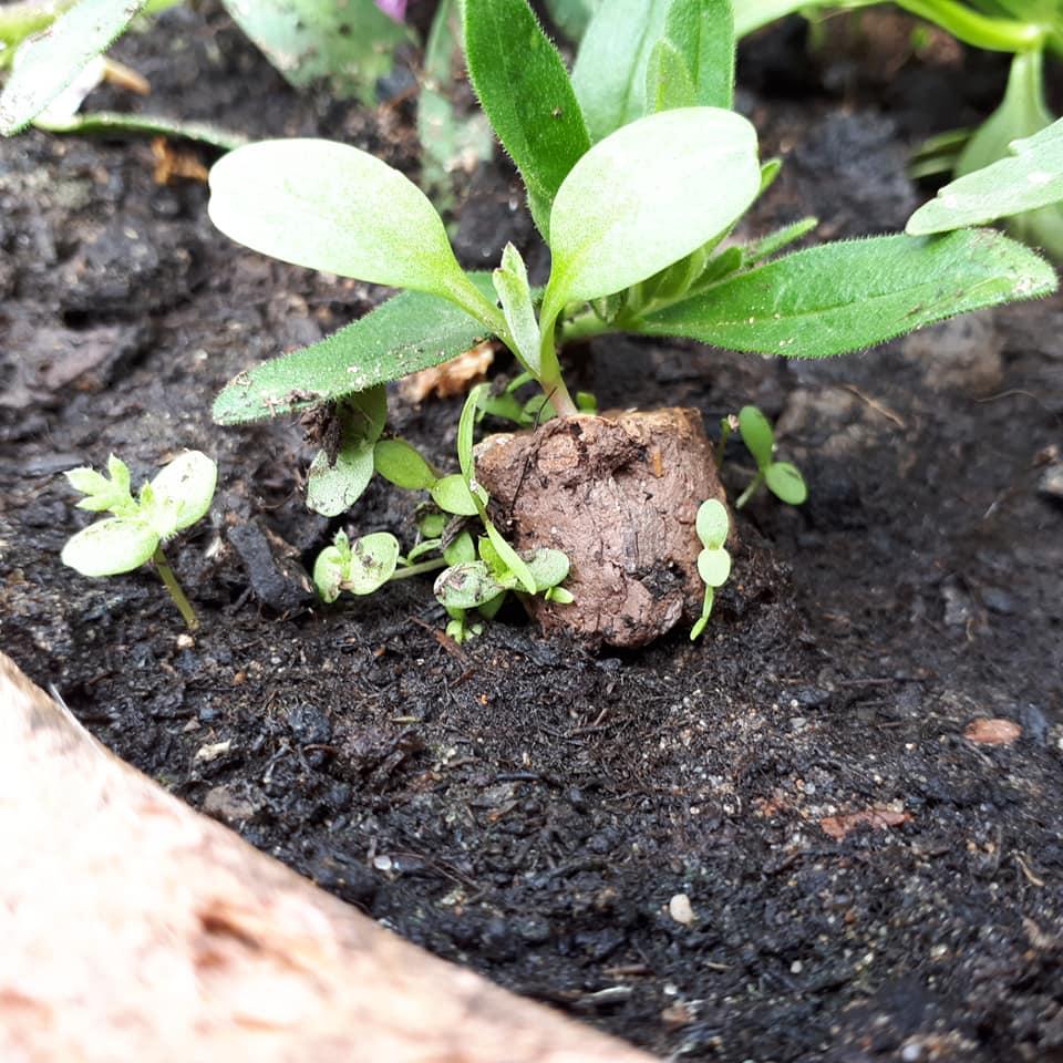 Wie die meisten Pflanzen benötigen unsere Beebombs Sonne und reichlich Wasser bis sie zu sprießen anfangen.