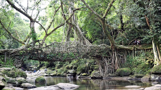 A glimpse of the Living Root Bridge