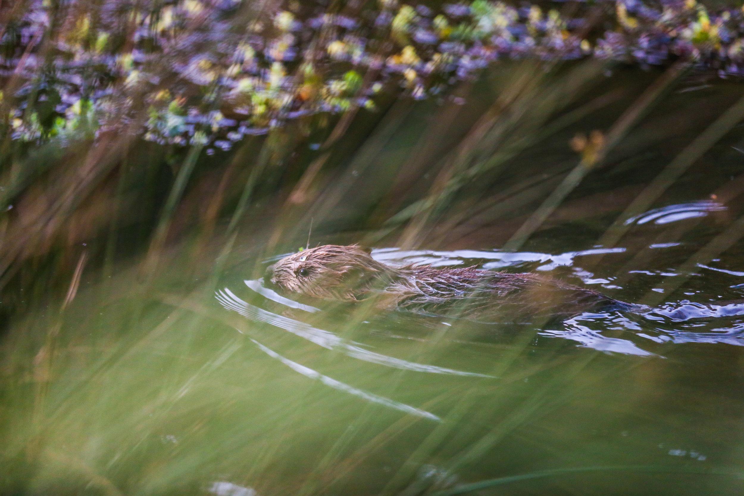Beavers-13.jpg
