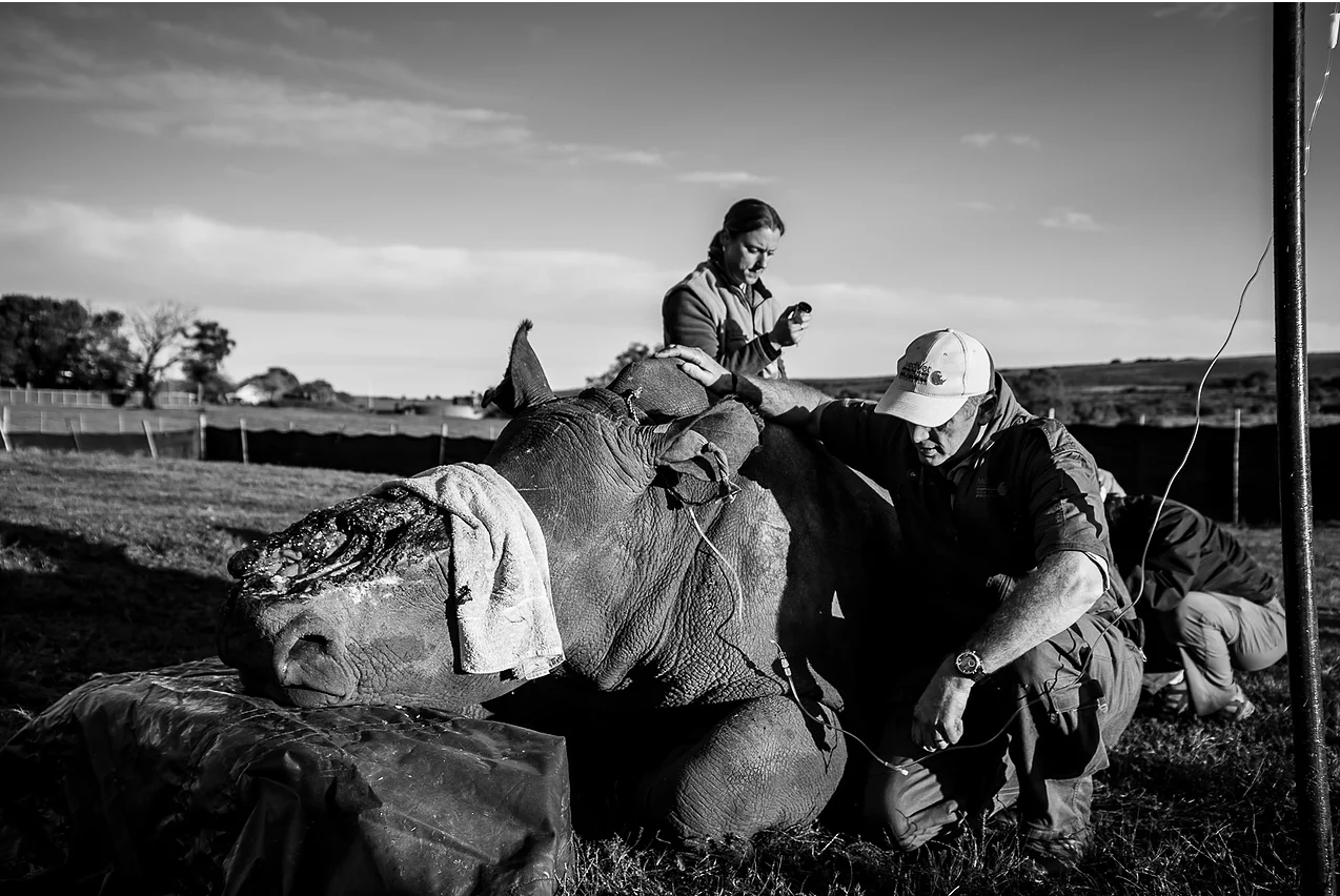 Hope managed to remove her previous protective shield a week or so prior to the operation. The wildlife vets working on her take some time to inspect the wound, checking for any potentially dangerous infection.