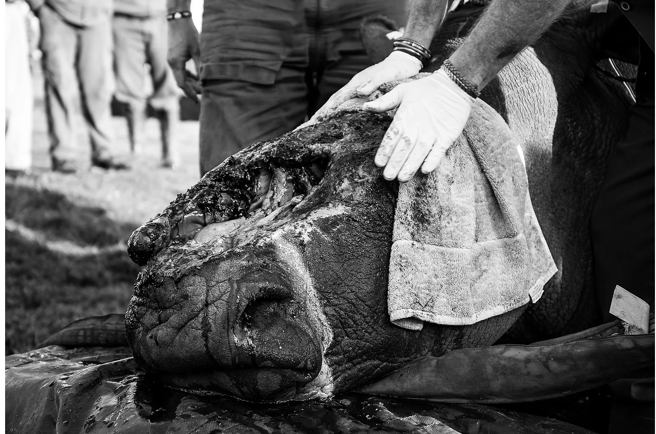Cleaning and disinfecting the wound thoroughly is important before attaching the shield. The poachers used a chainsaw to remove the horn, hacking open her face and cutting straight through the bone in order to remove the base plate. The horn will never grow back.