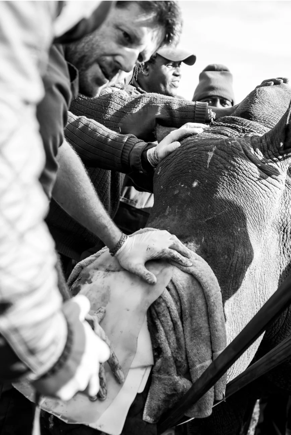 Concerned faces for Hope, many helping hands and man-power were required to reposition such a large animal.