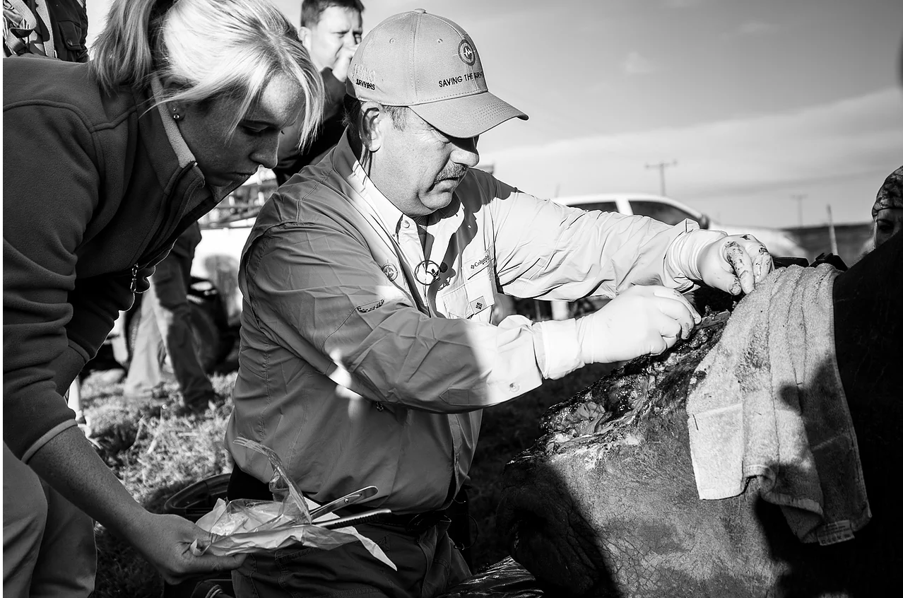 Hope is back in position for the second half of the operation. Operations such as this are unusual and the wildlife vets involved are always learning in order to help future poaching survivors.