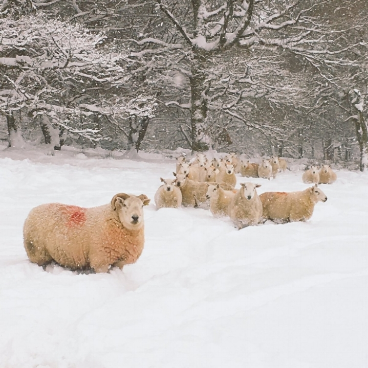 Ewes in snow.jpg