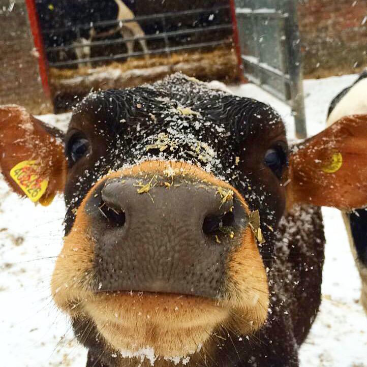 Cow pic.JPG