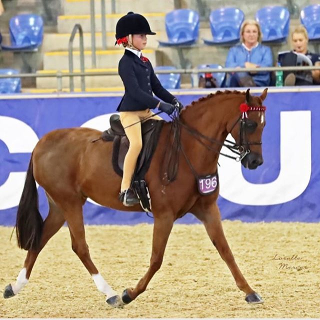 Charli Sabine and Cinnamon Prince Charming on their way to winning Grand National Champion Rider at SHC Grand Nationals. ESH feature article for the month of June. Read her story online at Everything Show Horse. Photo Credit Lorelle Mercer Photography #everythingshowhorse #showhorse #grandnationals #GN #galloway #pony