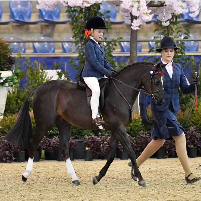 BORDERSHOW REGAL JUPITER Recently listed for sale with Everything Show Horse. Visit our website today to find out more or list your show horse for sale! 🦄🦄#showhorse #everythingshowhorse #forsale #showponies