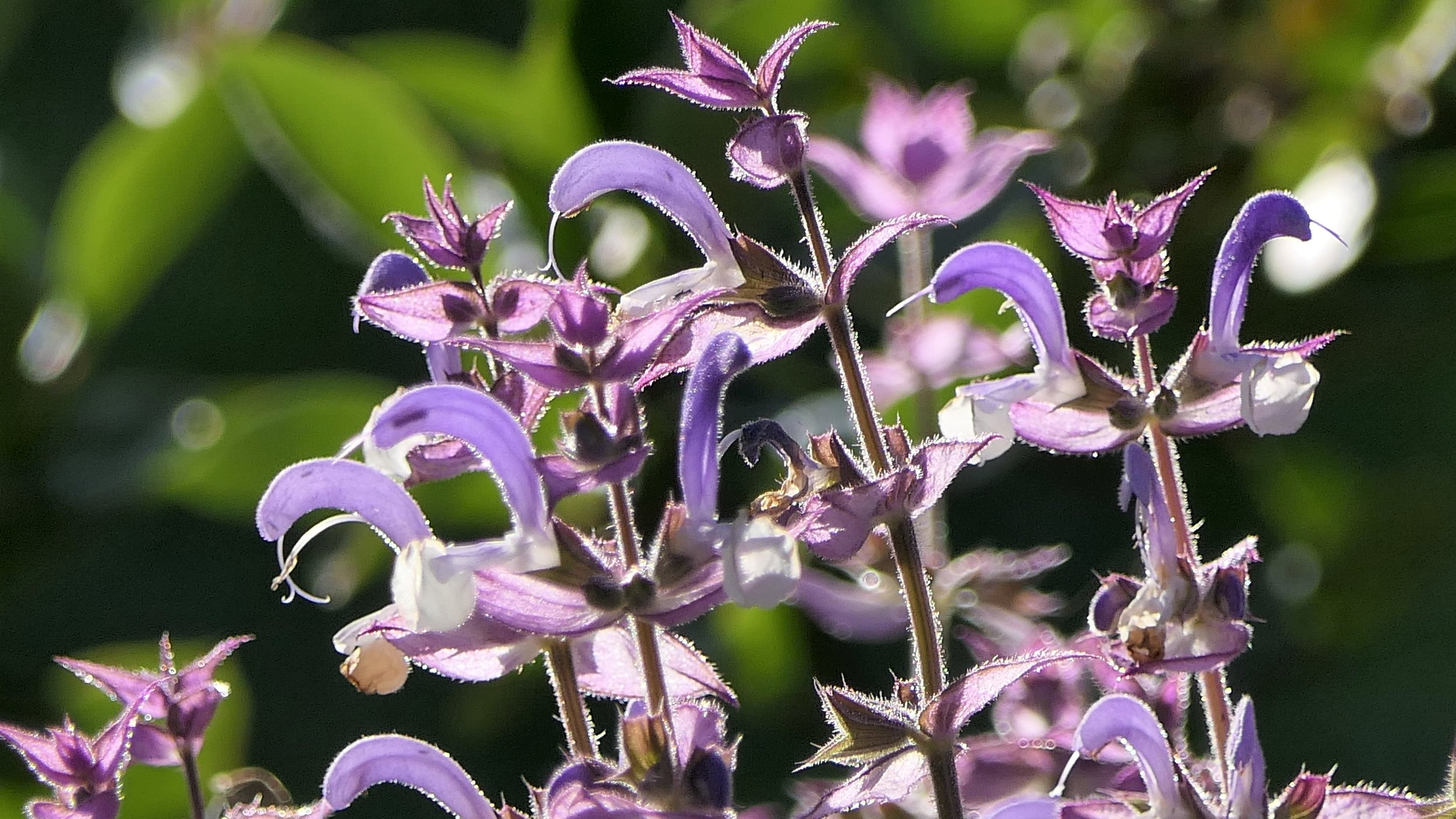 Salvia sclarea / Muskatellersalbei: Aromatherapie für Beckenkraft
