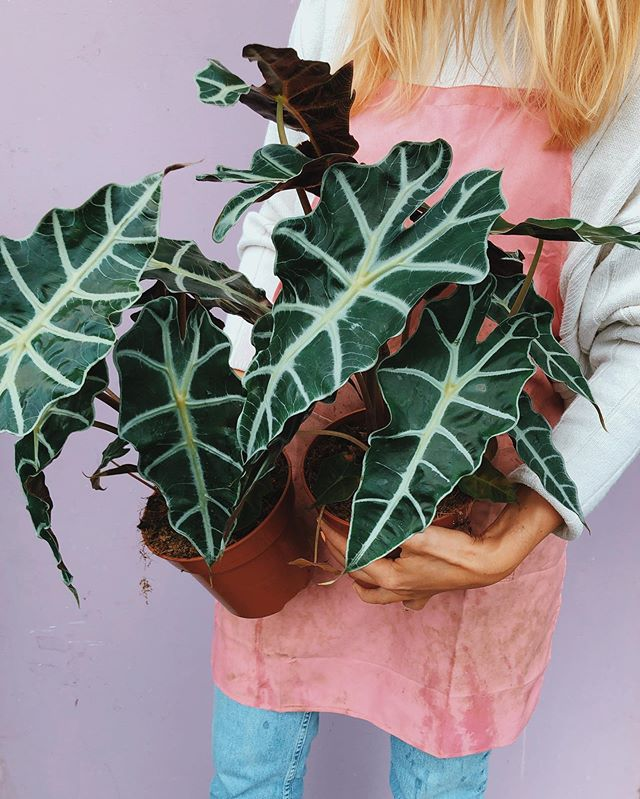 On delivery tomorrow 👆🌱 August's plant of the month: Alocasia amazonica polly also known as elephant ear 🐘 £32 inc ceramic style pot + delivery. Shop ✨now✨ via link in bio. #letitgrow