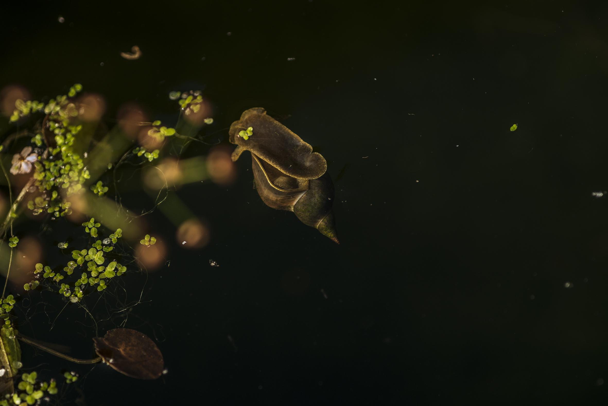 water_snail.jpg