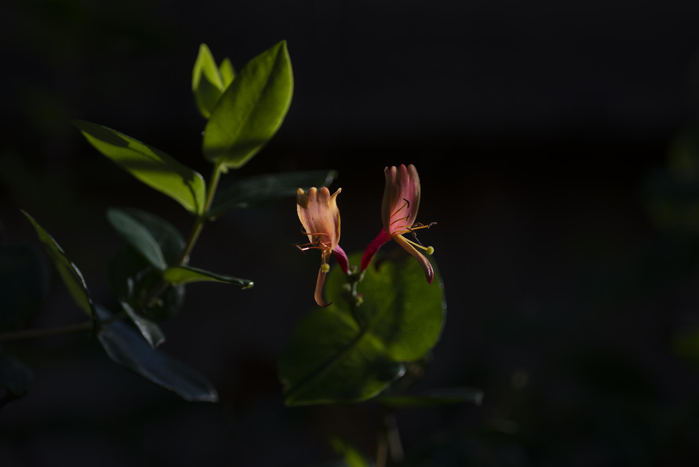 honeysuckle_flowers.jpg