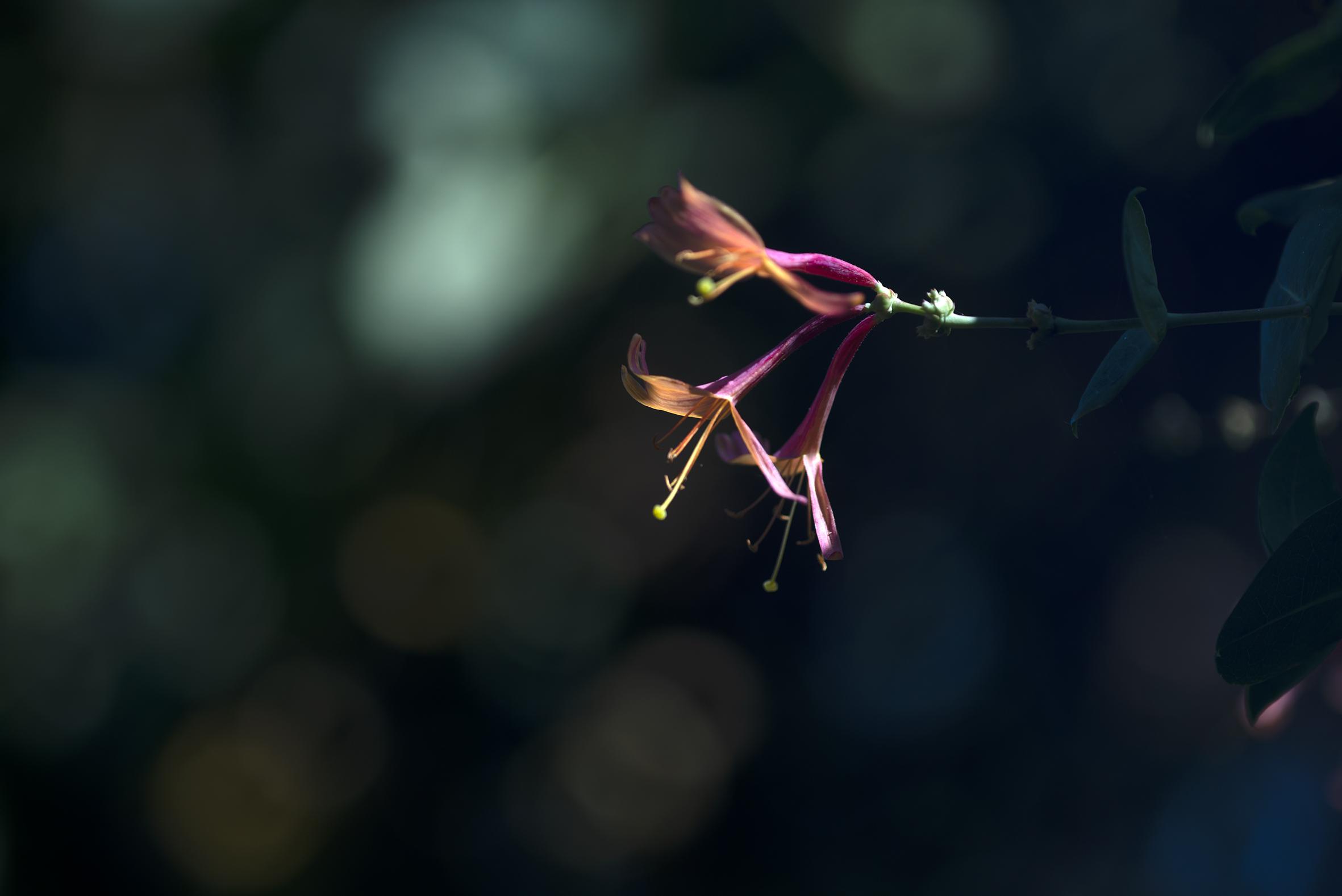 honeysuckle_flowers2.jpg