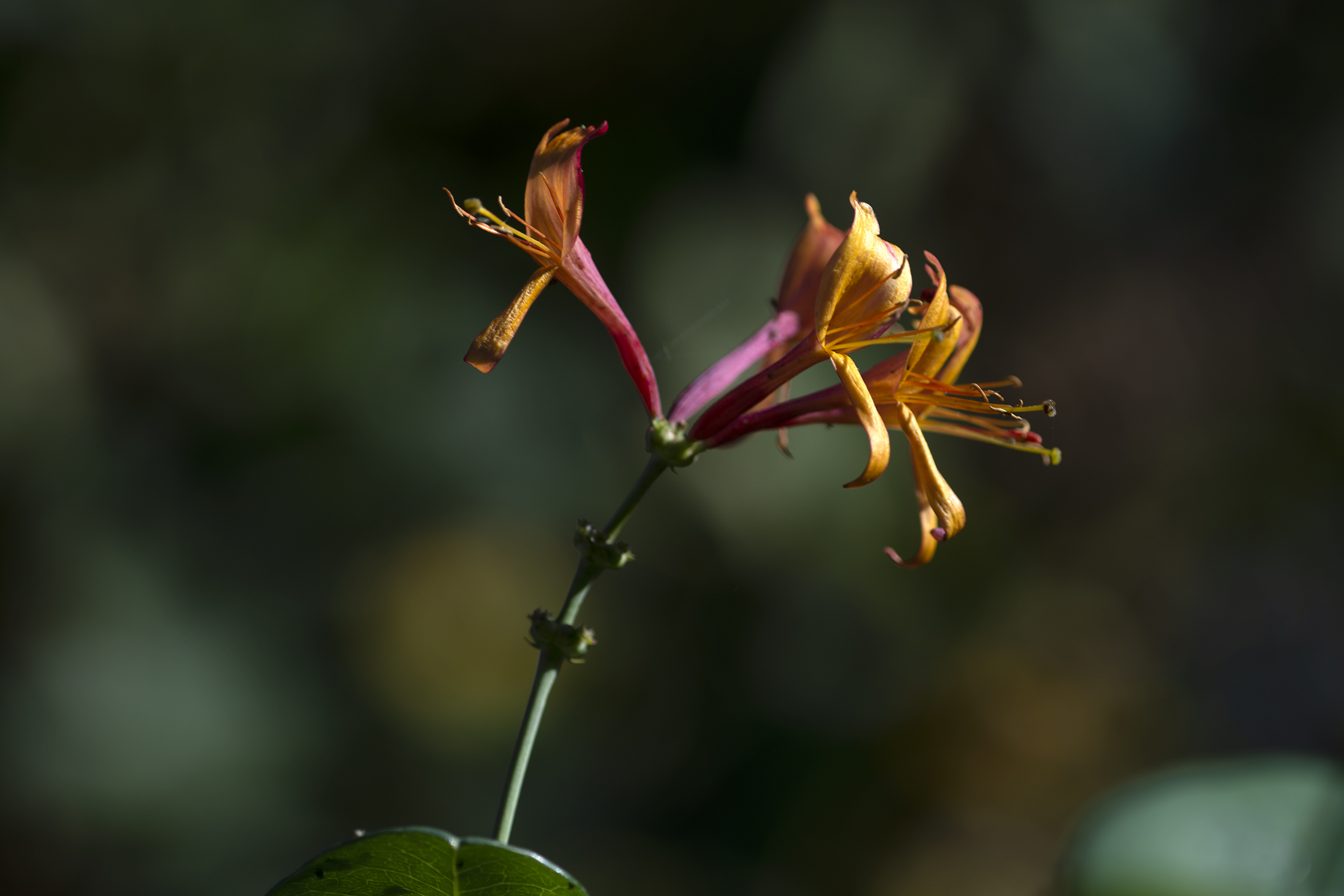 honeysuckle_flowers4.jpg