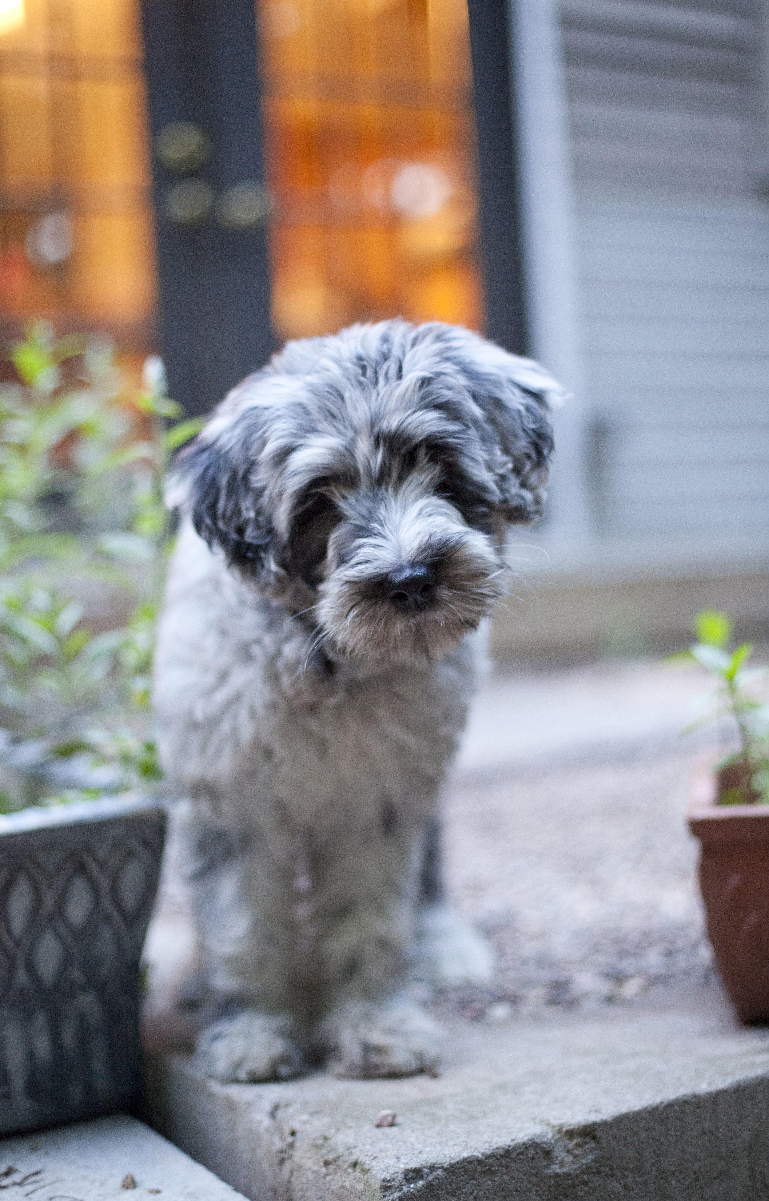 Merle female puppy