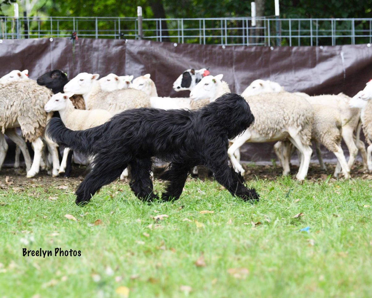Herding - The Bergamasco is a tending dog. They act as an imaginary fence when moving cattle or sheep to grazing areas.