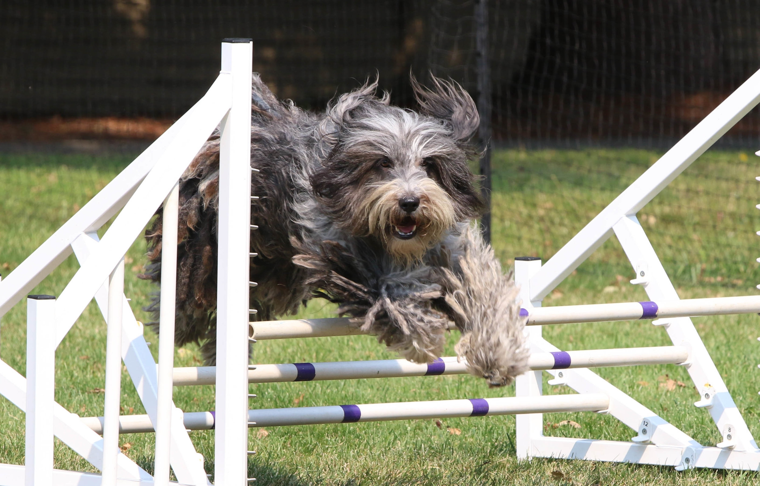 Agiltiy - Bergamascos are competing in agility!