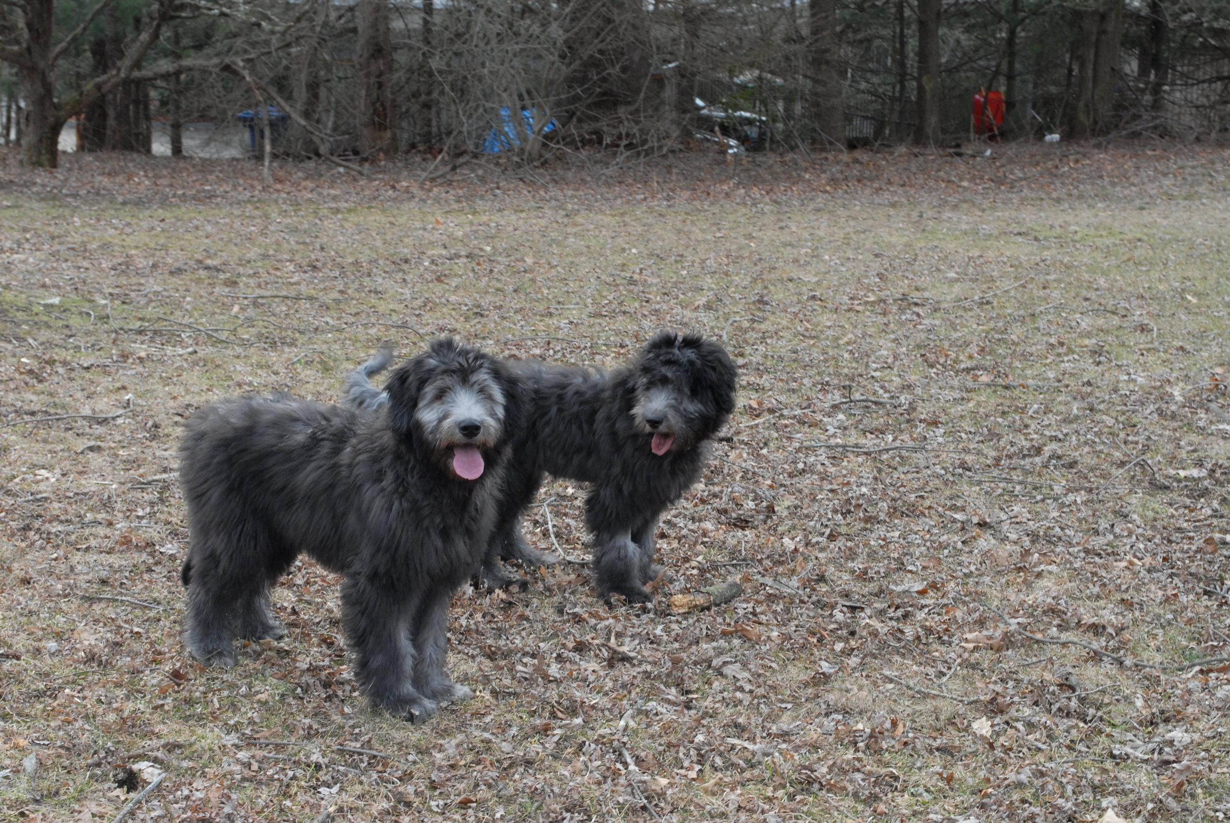 Grey - Puppies born black, turning grey