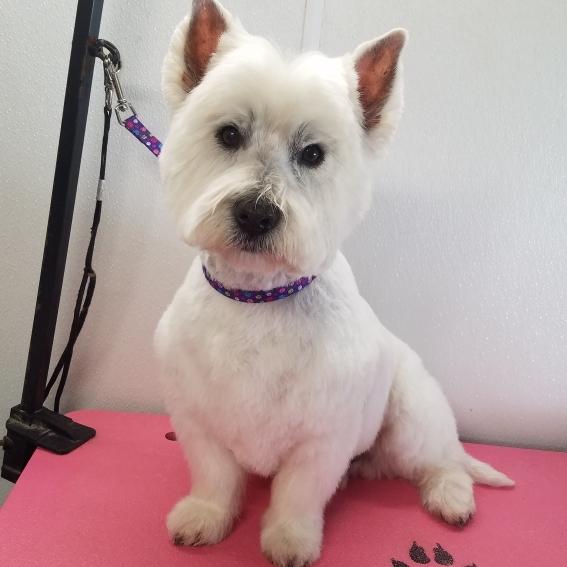 #westie #terriersofinstagram styled by Emily #groomerlife #petstylist  #shampoochpetstyles #mobilegrooming #petsalon #petgrooming #doggrooming #catgrooming #doggroomer #catgroomer #Temecula #Murrieta 951-818-4461