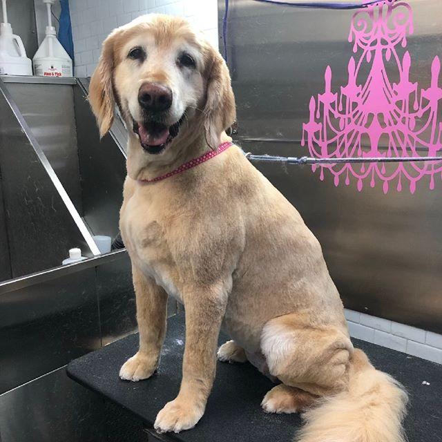 #goldenretriever  #goldensofinstagram styled by Amanda #groomerlife #petstylist  #shampoochpetstyles #mobilegrooming #petsalon #petgrooming #doggrooming #catgrooming #doggroomer #catgroomer #Temecula #Murrieta 951-818-4461