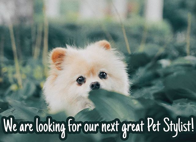 NOW HIRING! Shampooch Pet Styles is looking to add another full time stylist to the team! Looking for a trained stylist with a minimum of 1 year grooming. Please contact Heather or Hillary @ 951-818-4461 for more info. #shampoochpetstyles #petsalon #petstylist #petgroomer #Temecula #nowhiring
