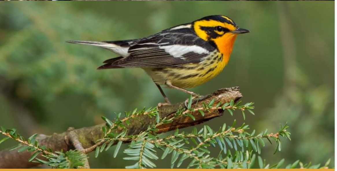 Particulary Susceptible to Collisions: Blackburnian Warbler