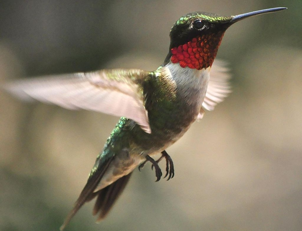 Particularly Susceptible to Collisions: Ruby-throated Hummingbird pc: jeffreyw (Flickr)