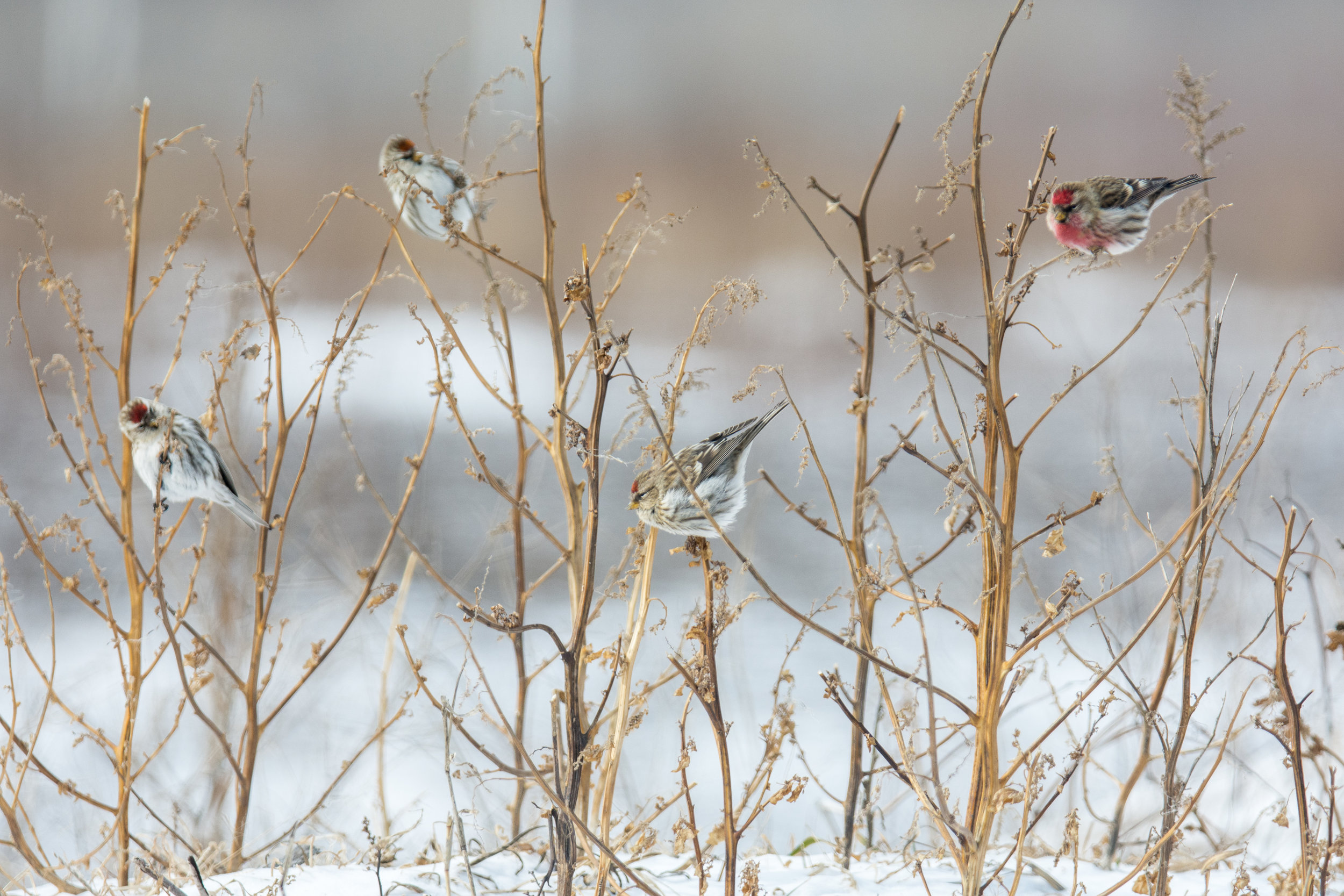 Redpolls on Chicago Lakefront pc: Dan Lory