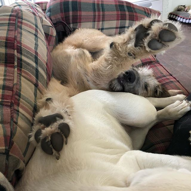 "Dolly, the Irish wolf hound practicing her best ""Superman"" pose while napping! 😂😂😂 #petpals #columbiacity #doggydaycare"