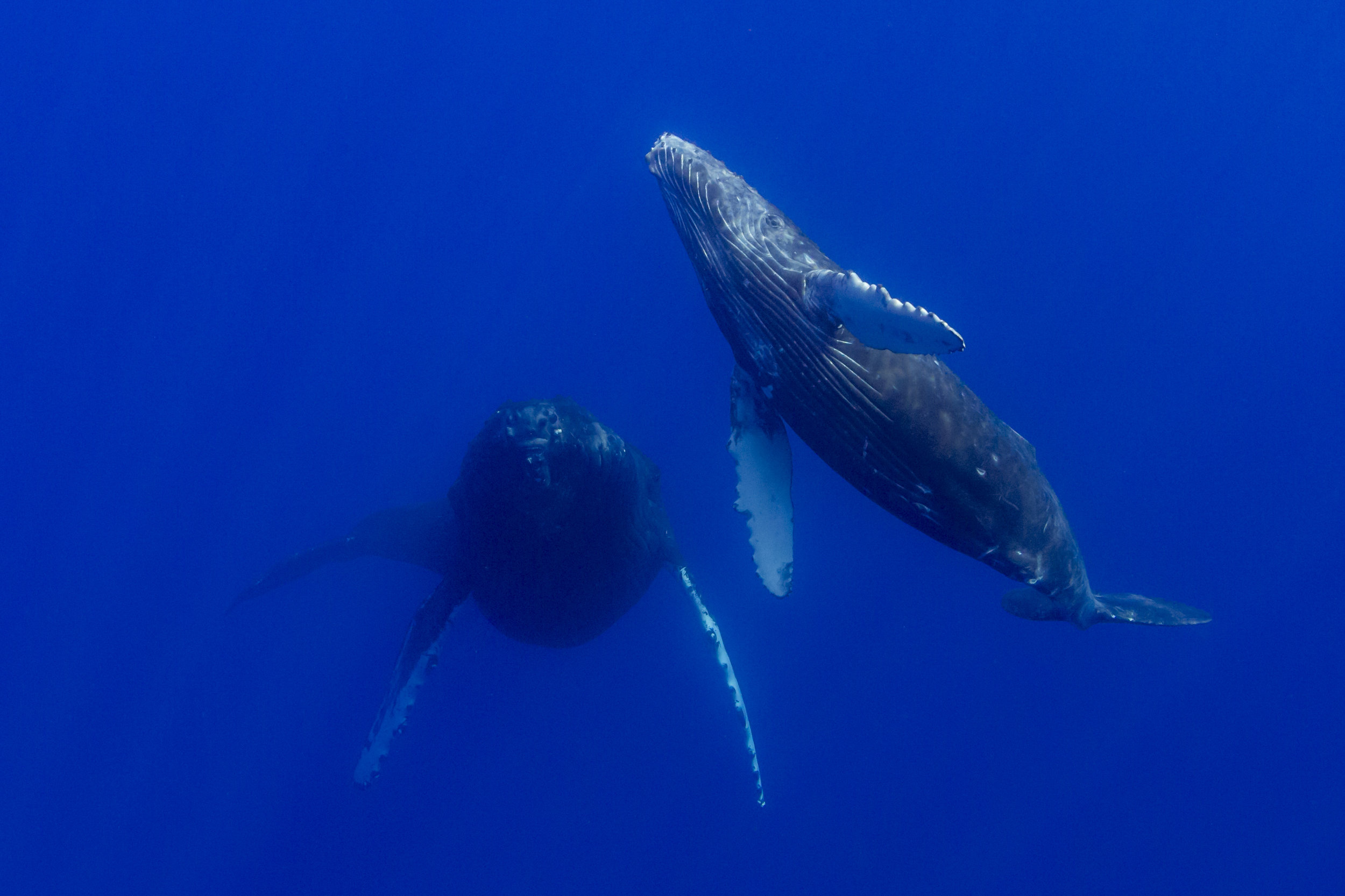 Mother & Calf Humpback Whale -