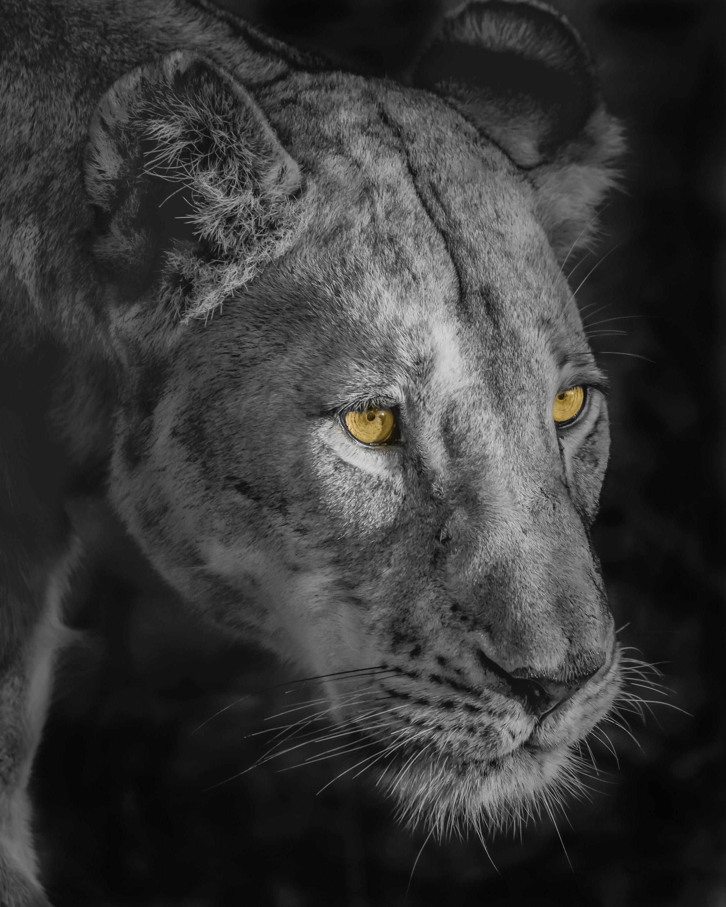 Lioness Blog.jpg