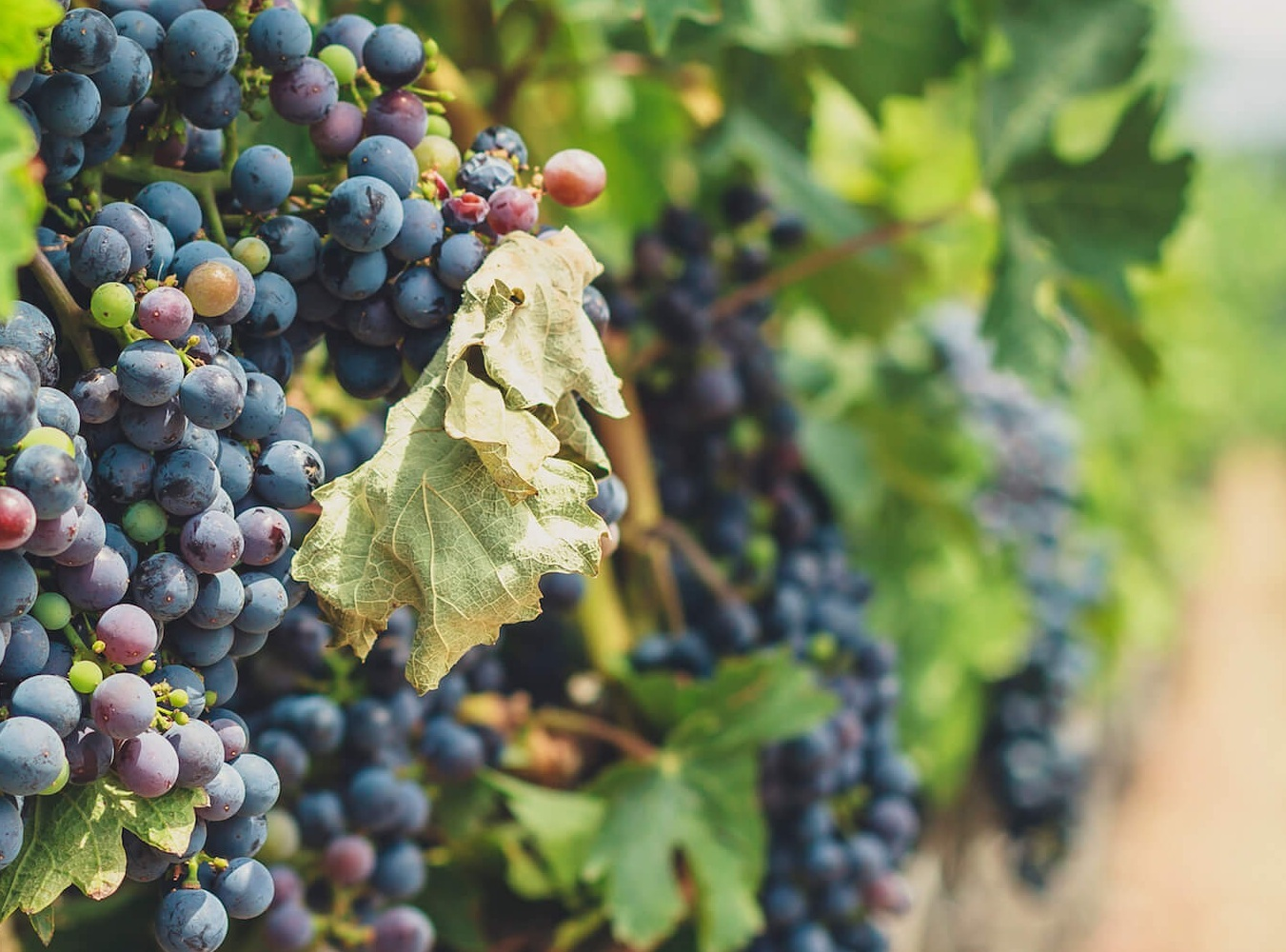 Winery%2BGrapes%2BSustainable%2BWine%2Bmaking%2B%257C%2BEpic%2BWines%2BOrganic%2BSustainable.jpg