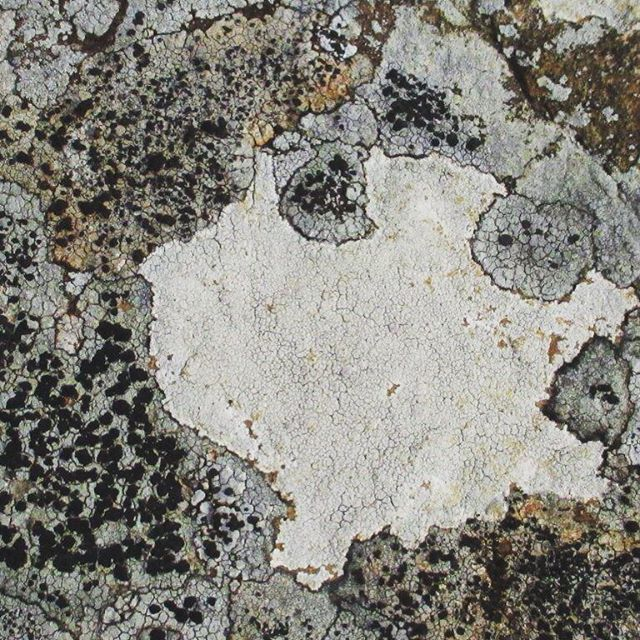 Lichen. Drummond. #photography #environment #drummond #centralvictoria #landscape #nature #lichen #upperloddon #walking