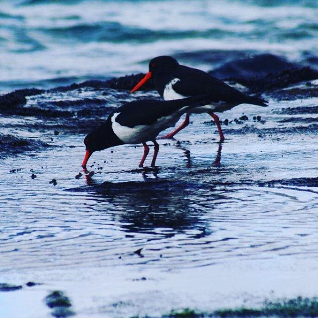 Pied oystercatchers. Eaglehawk neck. Tasmania. #camping #eaglehawkneck #birds #environment #landscape #piedoystercatchers #photography #tasmania #tasmanpeninsula #water