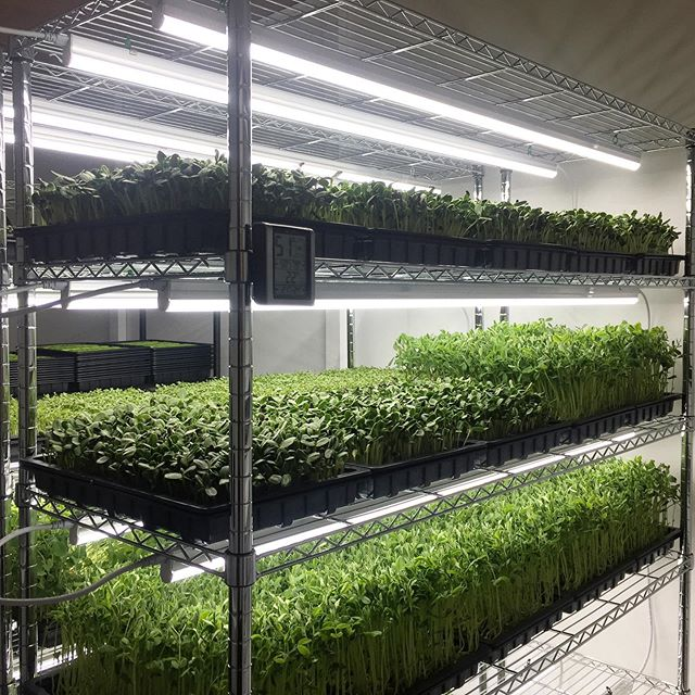 Farm looking 👌🏻#urbogreens #growninlondon #microgreens #urbanfarming #urbanag #urbanagriculture