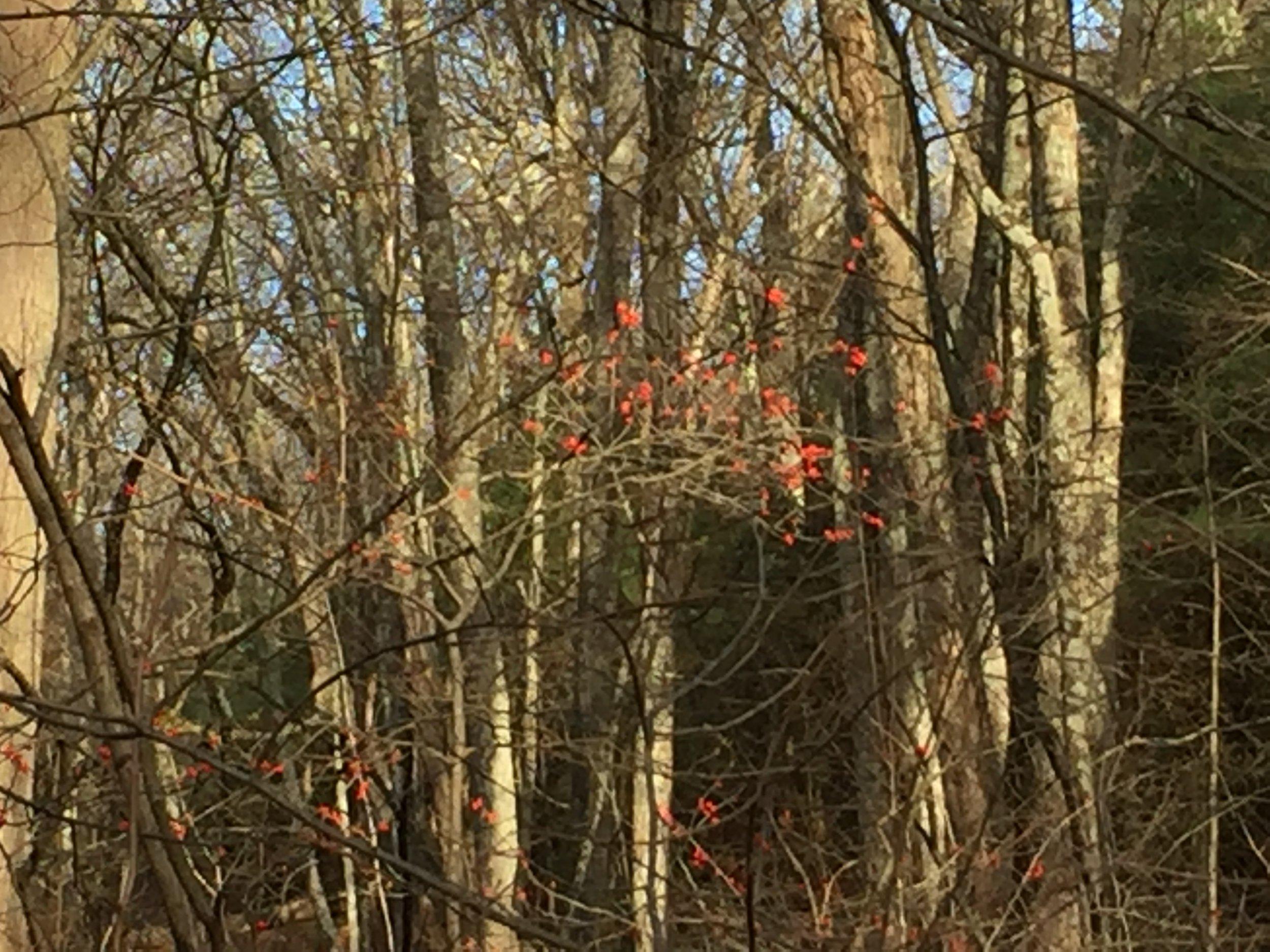 December Berries 2.JPG