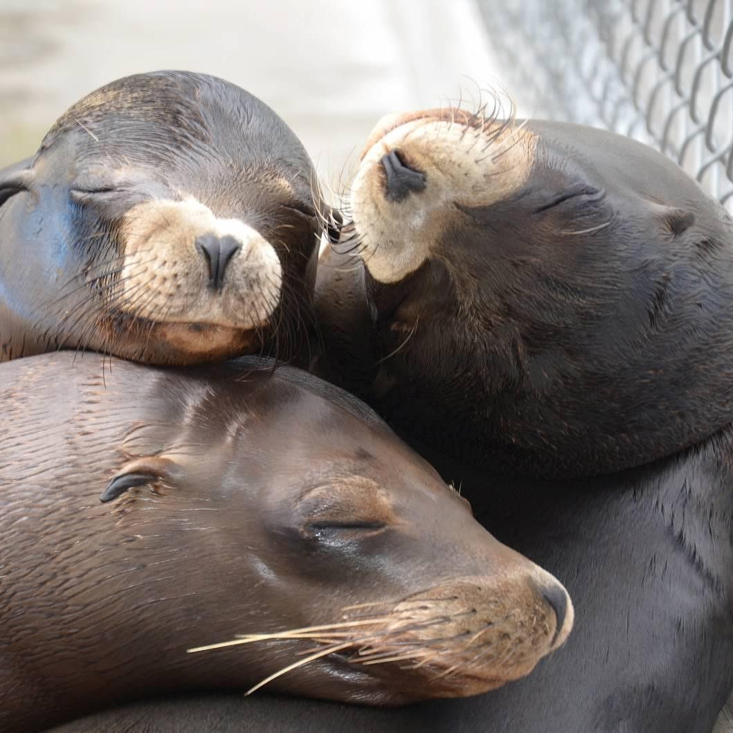 3+sleeping+sea+lions+ichabod+ella+and+tucson+%28002%29.jpg
