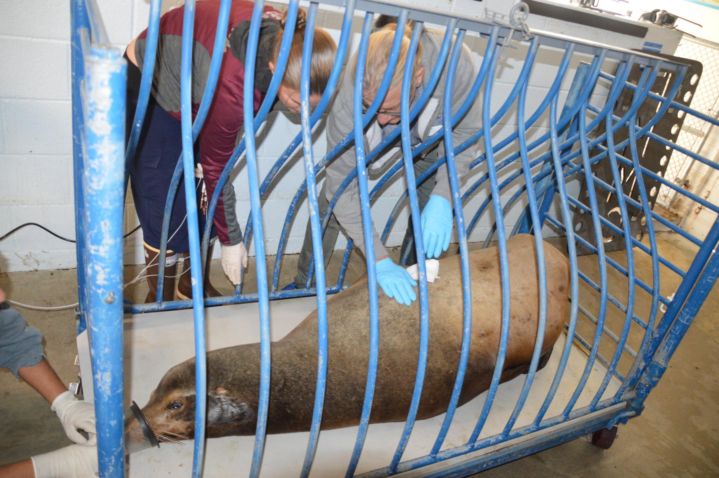Sat tagging adult male sea lion (1).JPG