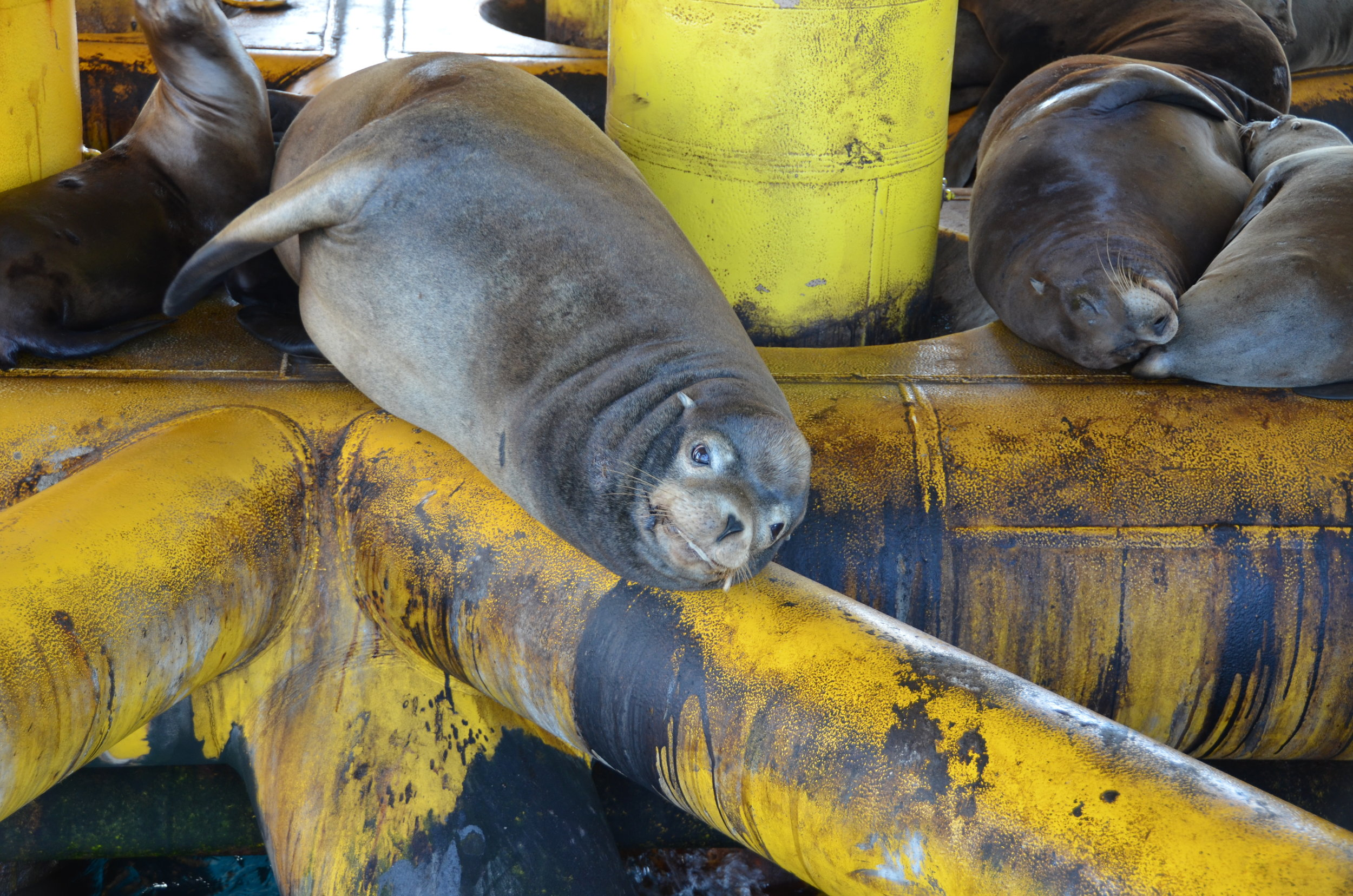Oil rigs can be a popular spot for sea lions to rest.