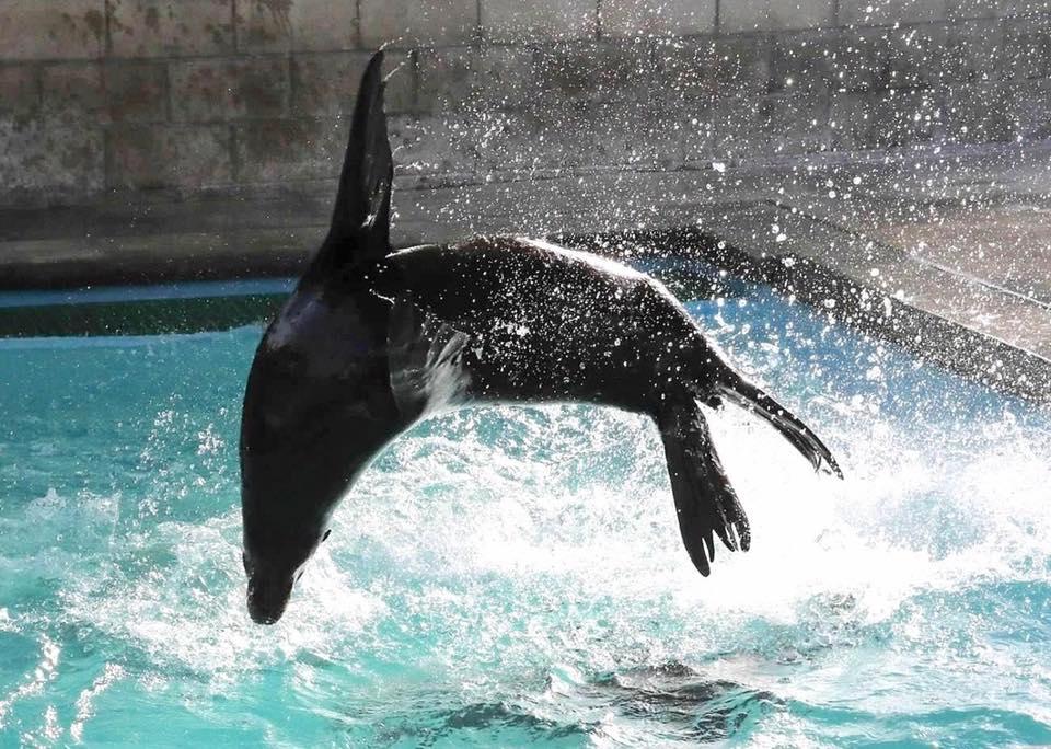 Sea Lion Flip.jpg