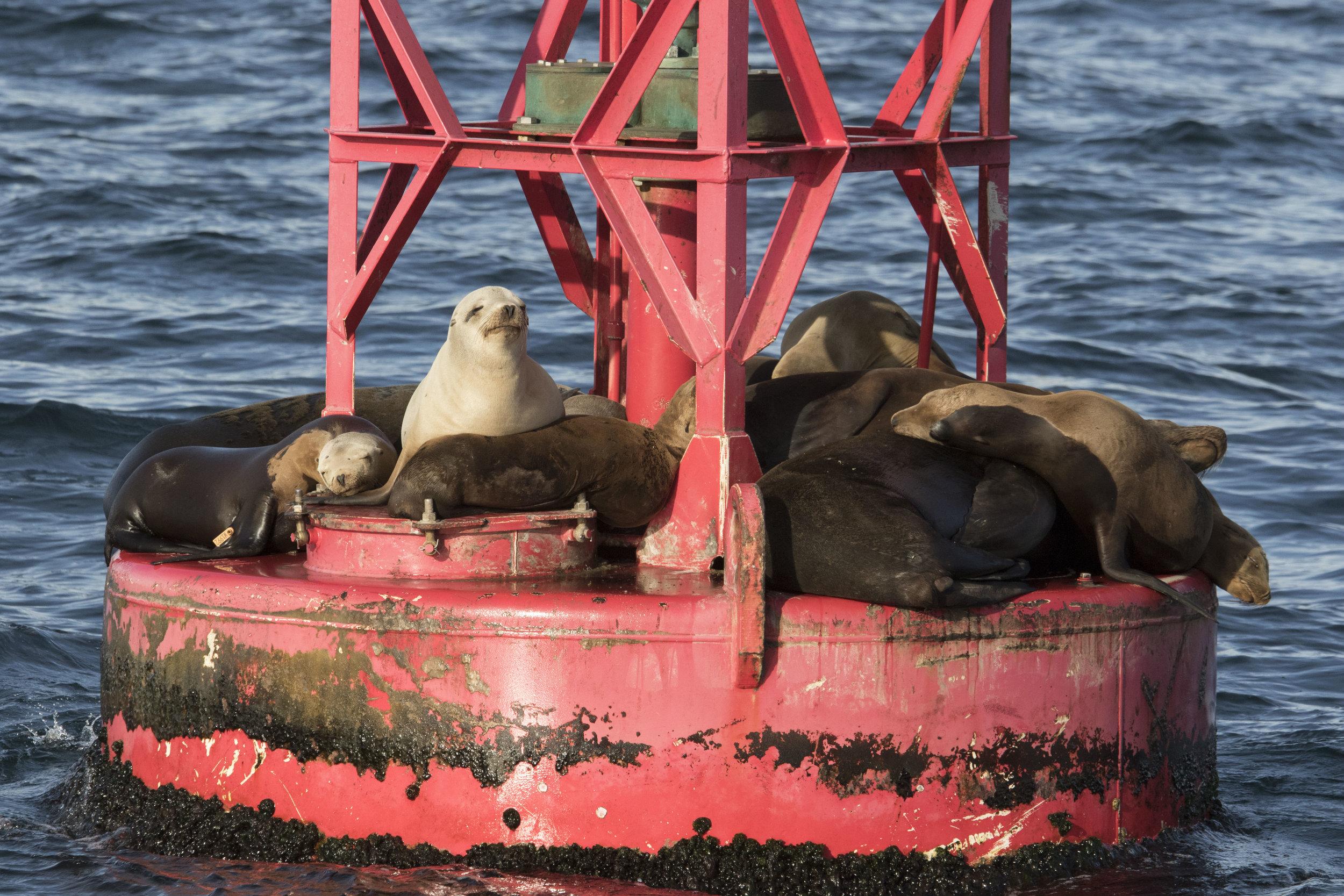 Tagged Sea Lion #W1992  01.26.19 Daba Point Red Buoy.jpg