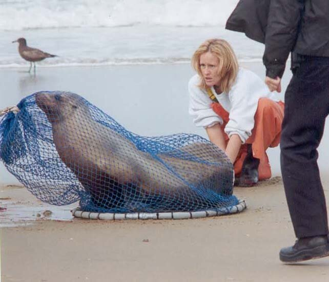 Wendy rescuing an adult California sea lion.
