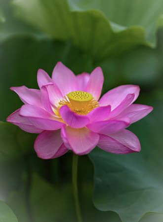 The Lotus Flower grows from the mud to create beauty, serenity, health, and good fortune. No mud, no flower…