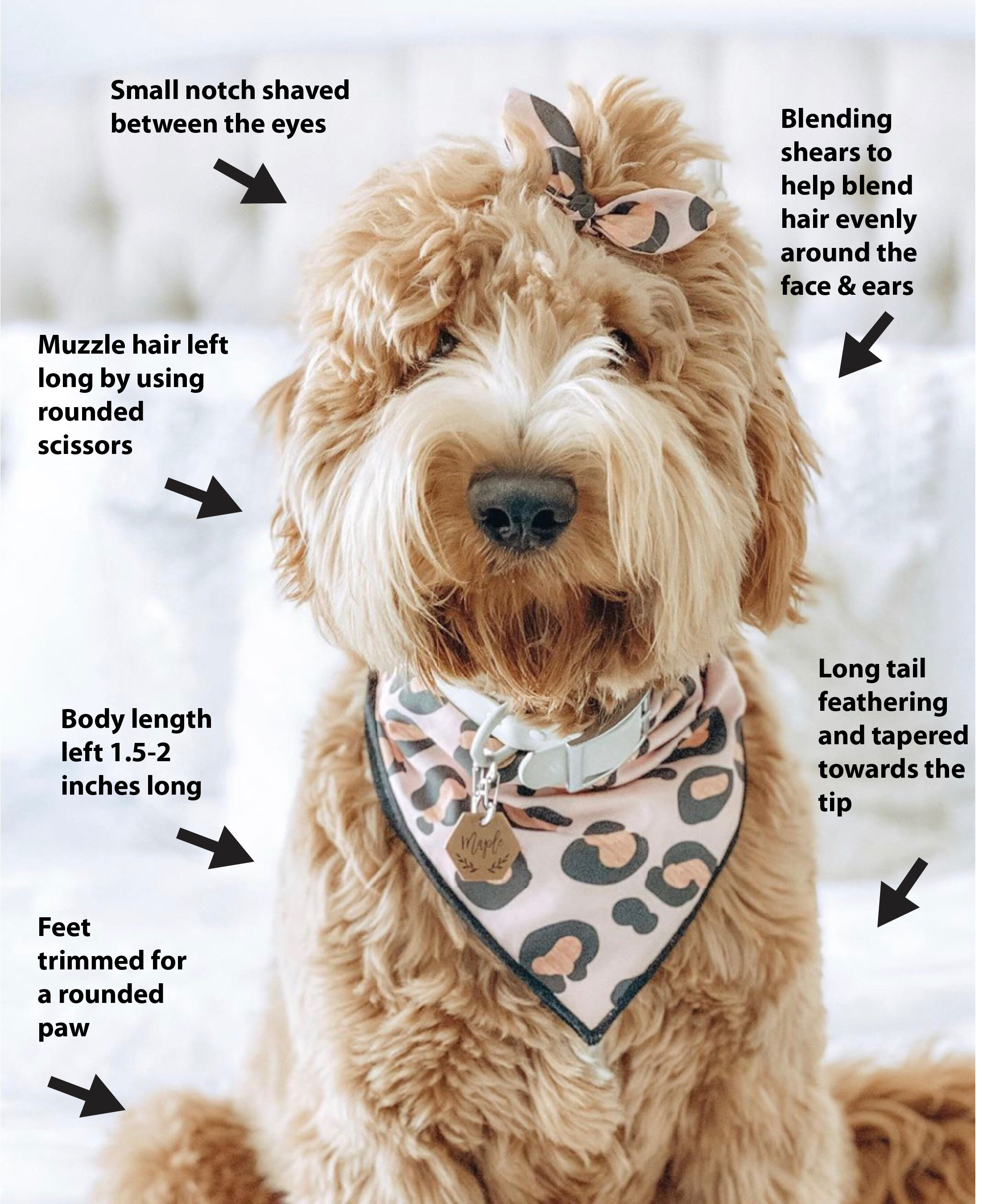 Goldendoodle Teddy Bear Haircut Grooming Tips Matthews Legacy Farm