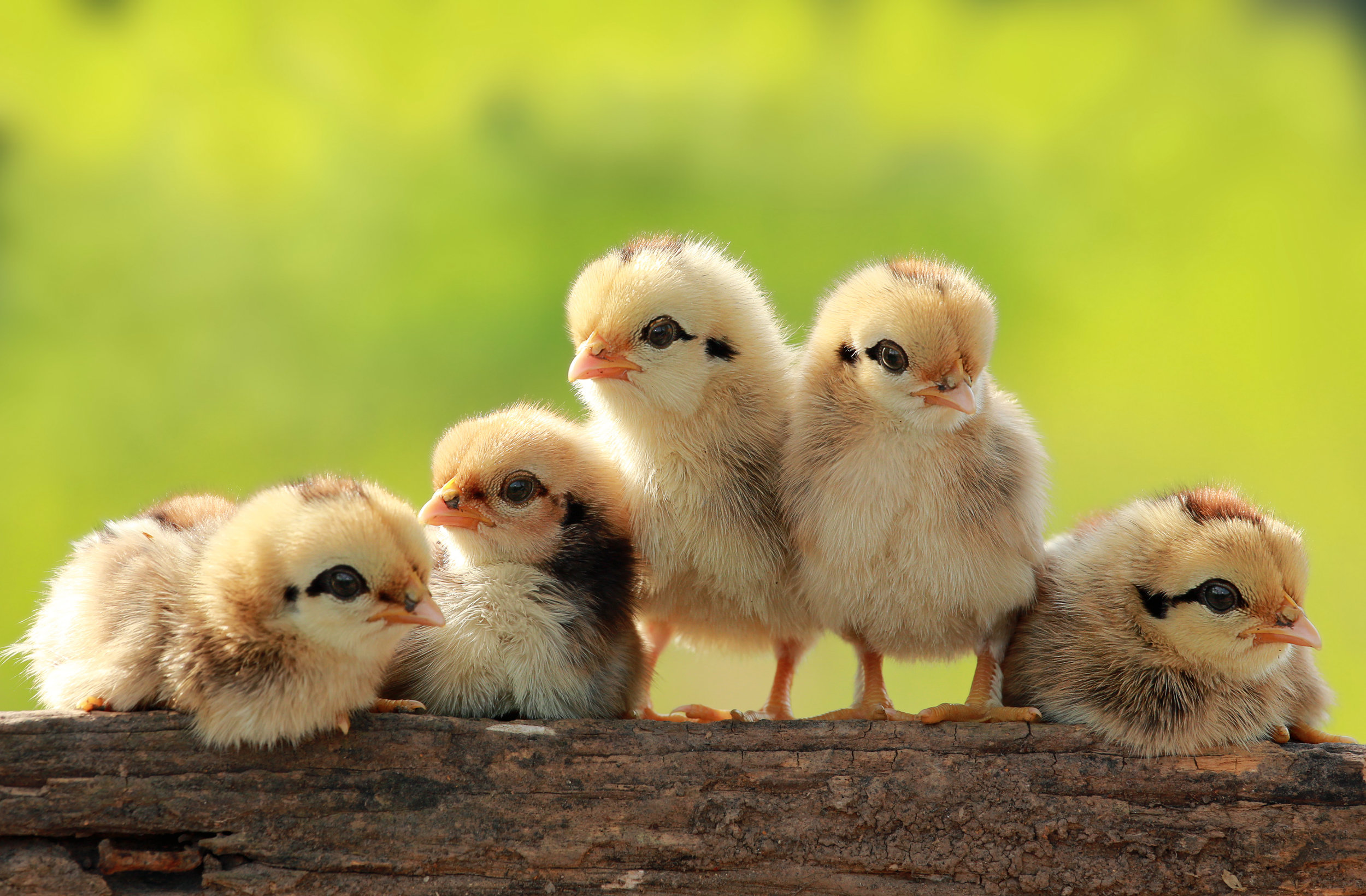 CHICK DAYS - We will have a late run in September and October!